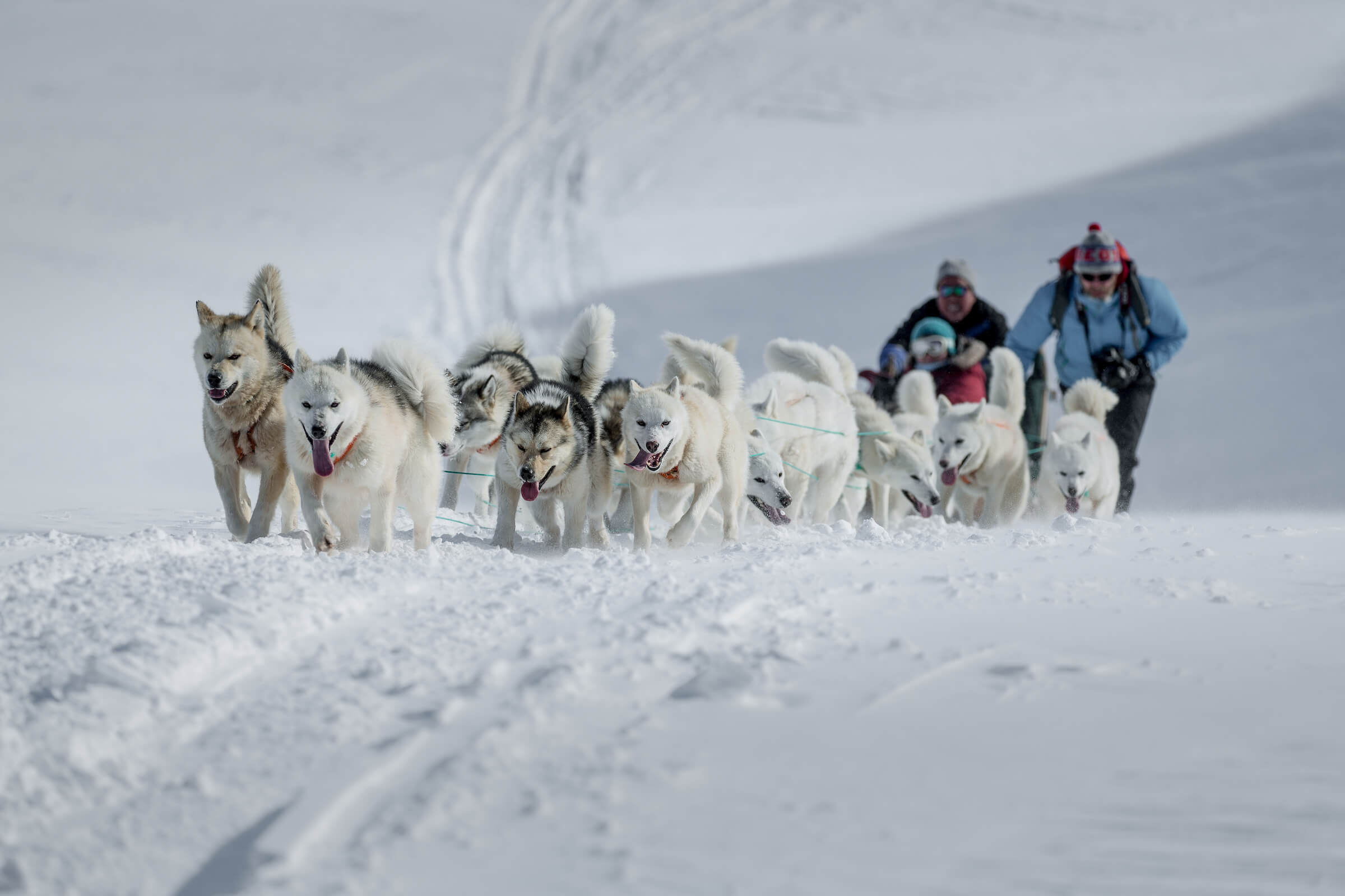 sled dogs dragging uphill near tasiilaq in east greenland