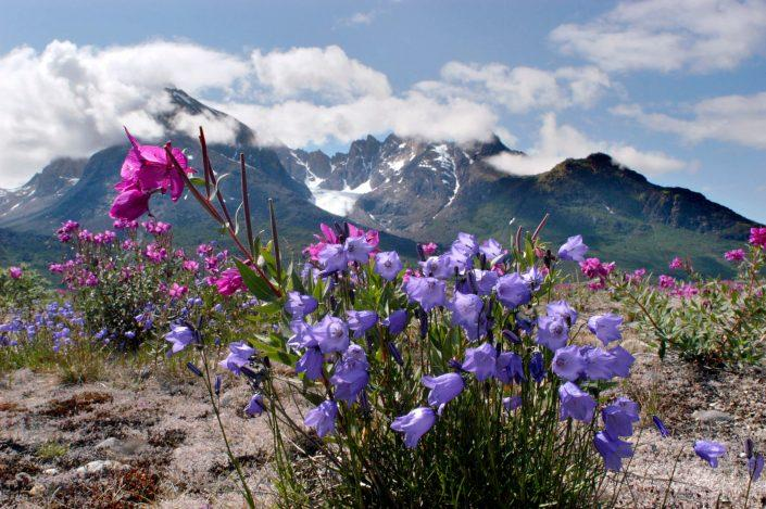 Flowers in Tasermiut Fjord in South Greenland, by Visit Greenland
