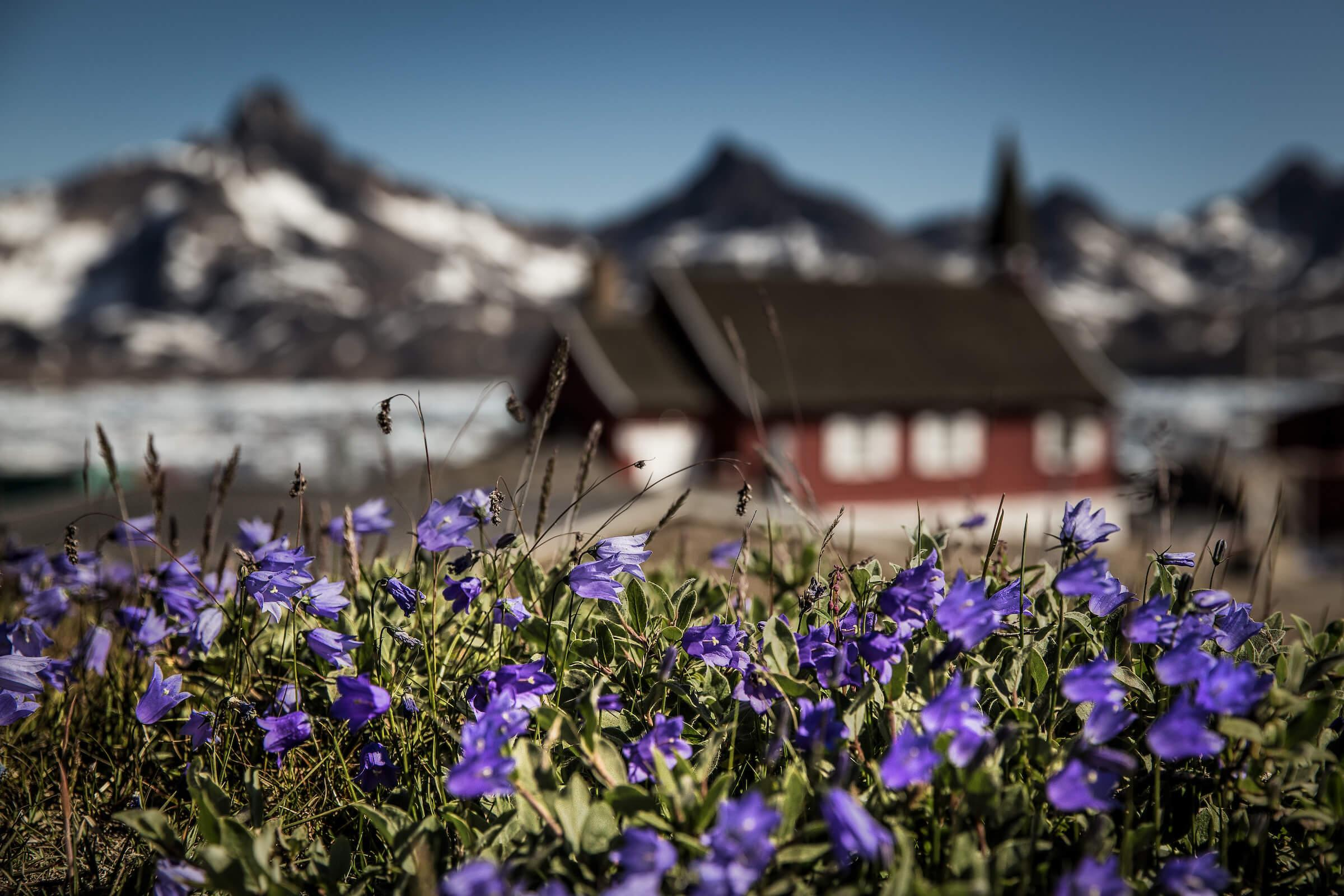 The Flora Of Greenland An Intense And Green Arctic Experience
