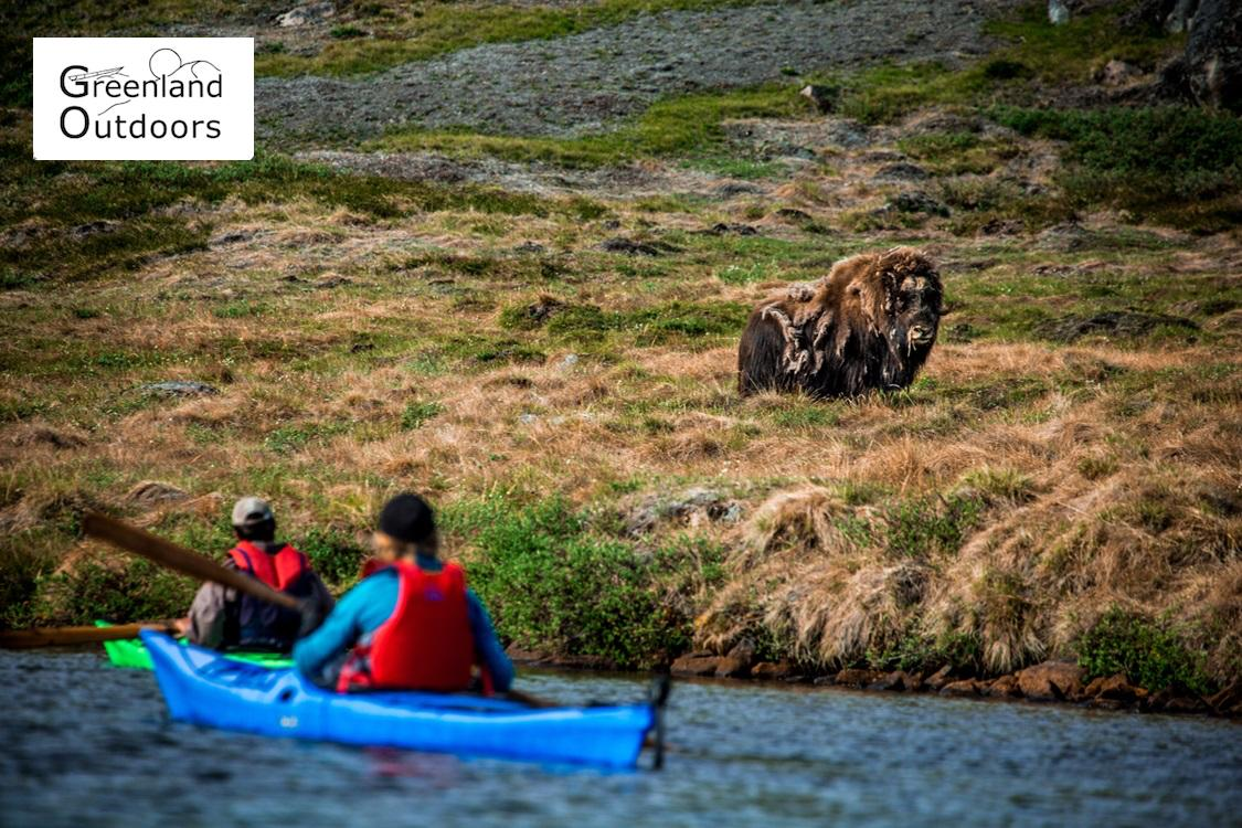 Greenland Outdoor: Wilderness Camp Among Musk Oxen
