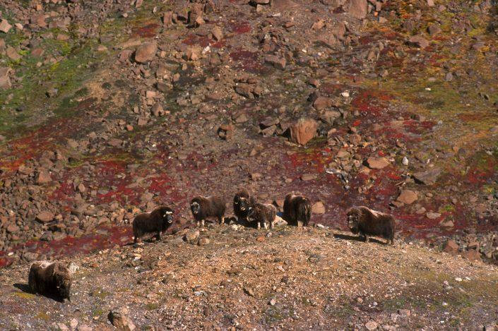 Heard of musk oxen on a hill side, by Magnus Elander