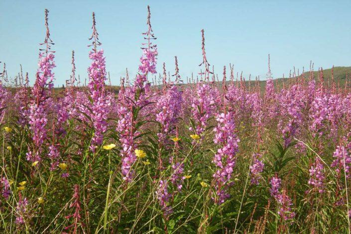 The national flower of Greenland, Fireweed, called Niviarsiaq in Greenlandic. Photo by Agathe Devisme