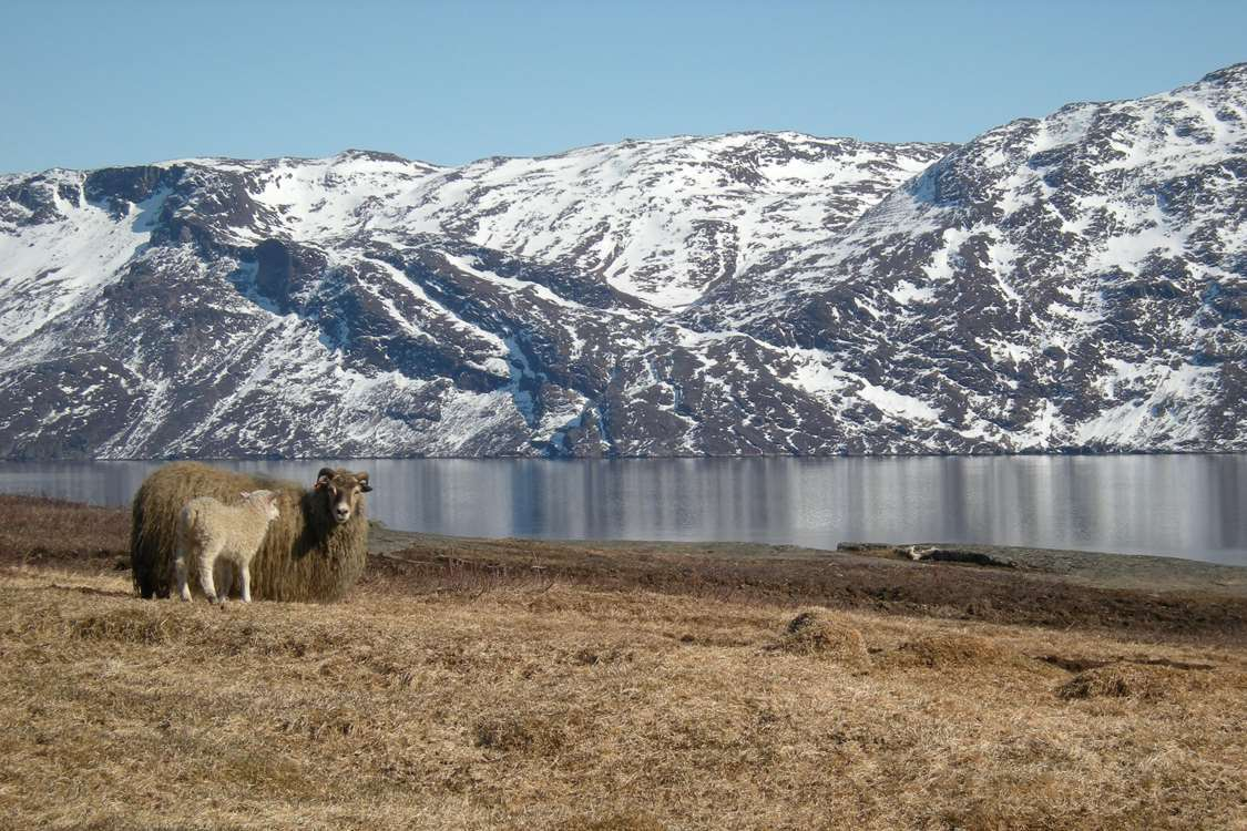 A mother sheep and its lamb at Ipiutaq Guest Farm in South Greenland. Photo by Agathe Devisme