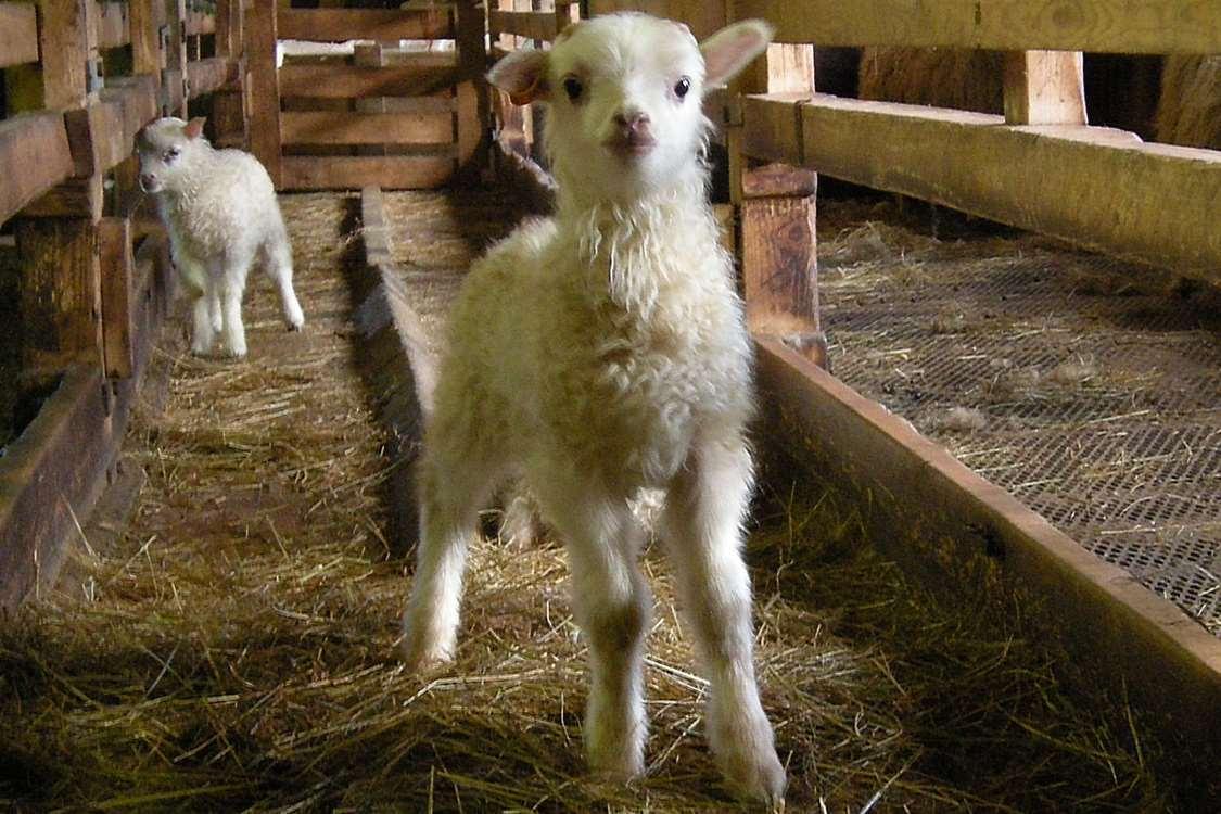South Greenlandic lamb at Ipiutaq Guest Farm. Photo by Agathe Devisme