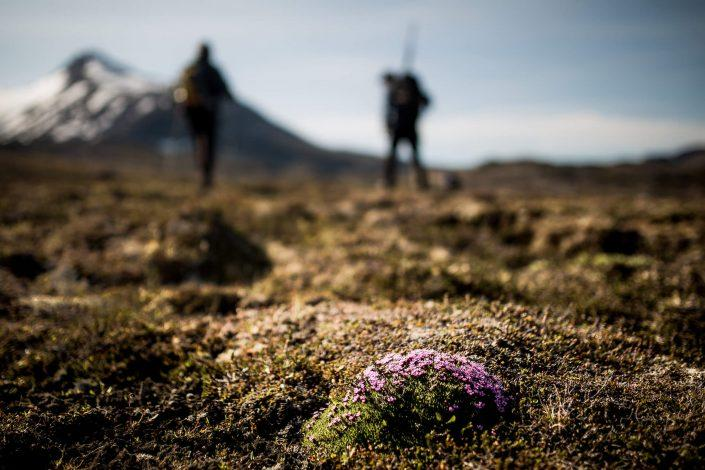 Low mosses and flowers on a hiking trail in East Greenland. By Mads Pihl