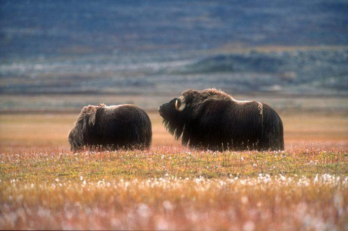 Male musk ox mooing