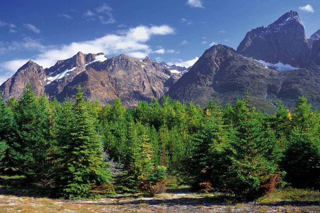 Trees in the Qinngua Valley, the only natural forest in Greenland. Photo by Nanortalik Tourism Service