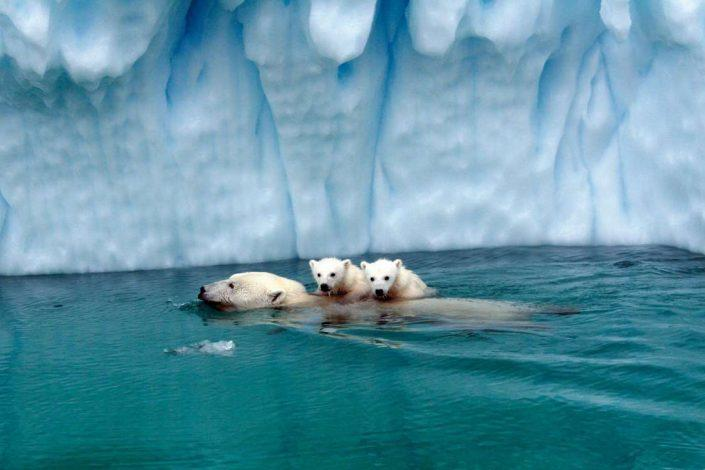 Polar bear swimming with her cubs on the back in front of an iceberg. Photo by Nanortalik Tourism Service