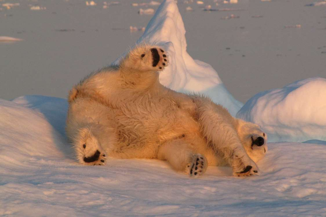 Polar bear enjoying the sun while lying on a floating iceberg on sea. Photo by Nanu Travel