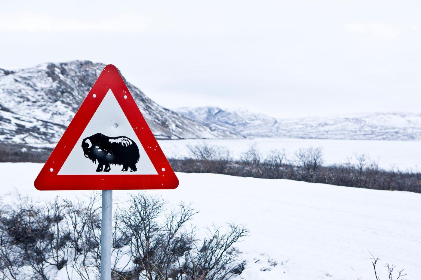 Kangerlussuaq Winter Muskox sign. Photo by Per Arnesen - Visit Greenland