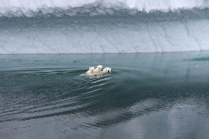 Polar bear swims with its cubs near the iceberg