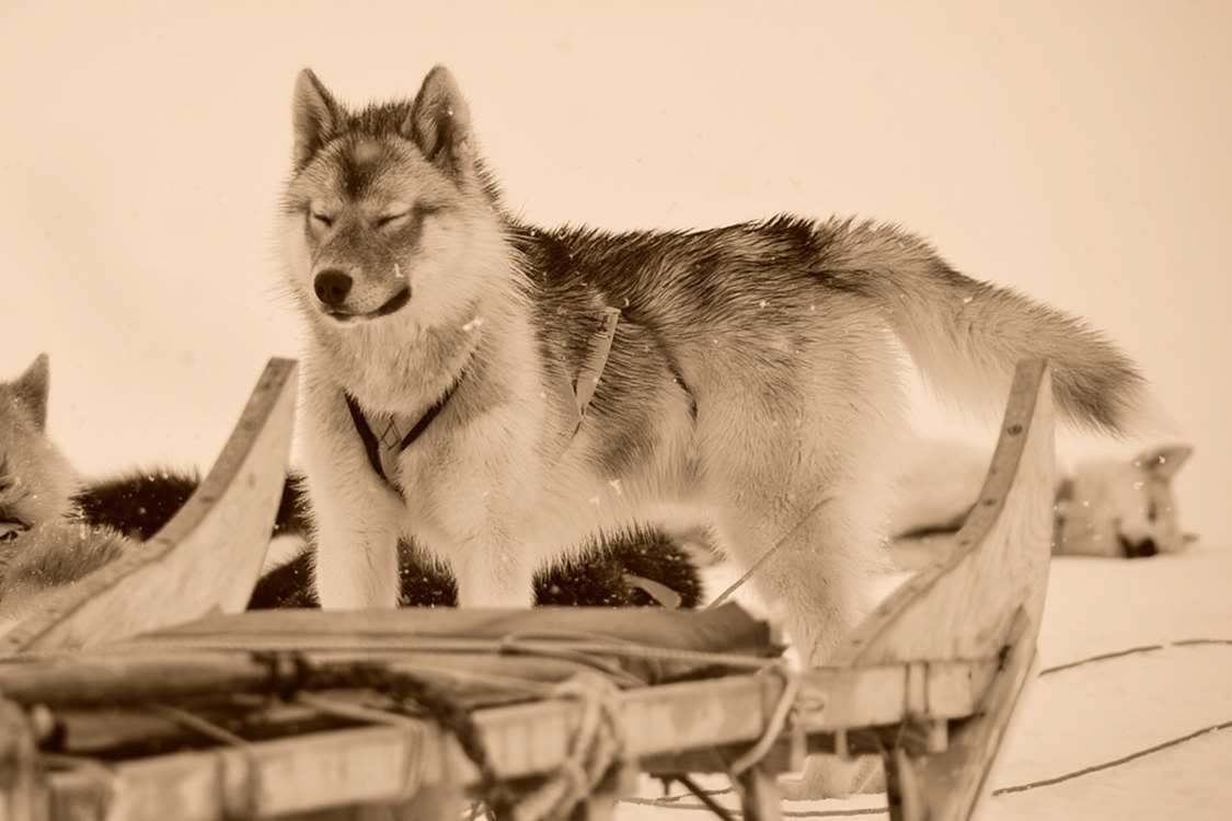 Sleddog closing its eyes while other sleddogs are taking a break. Photo by Pirhuk - Greenland Expedition Specialists