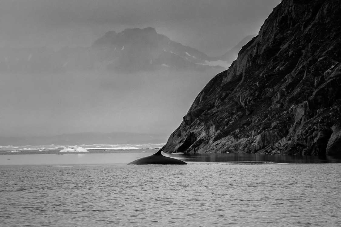 Whale in black and white. Photo by Pirhuk - Greenland Expedition Specialists