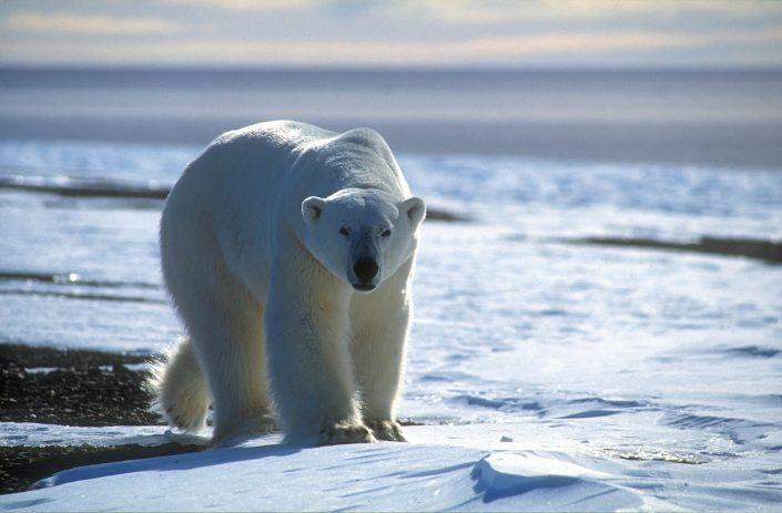 Polar bear approaching, by Magnus Elander