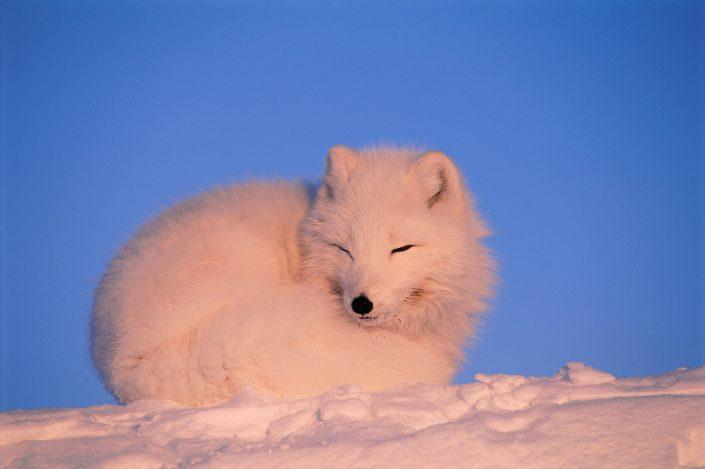Polar fox in winter, by Staffan Widstrand