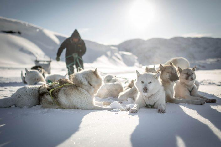 Sled dogs taking a break on a dog sledding trip in Ilulissat in Greenland