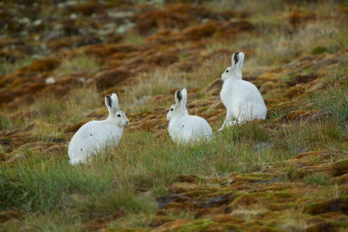 Three mountain hares in North Greenland