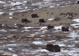Trophy Hunting Greenland 02